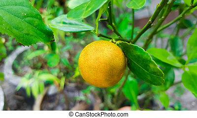 gros plan, oranger