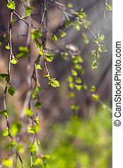 gros plan, rayons, branches, nature, printemps, feuilles, jeune, vert, bouleau, frais, soleil, premier