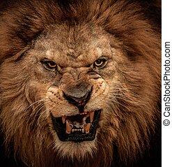 gros plan, rugir, coup, lion