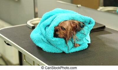gros plan, serviette, vétérinaire, yorkshire, clinic., mouillé, emballé, table, terrier