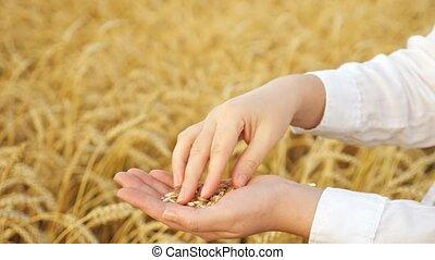 gros plan, toucher, champ, femme, enveloppes, mains, blé