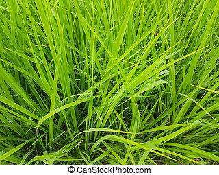 gros plan, utilisé, plante, arrière-plan vert, riz
