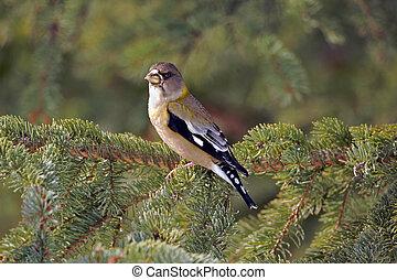 Grosbeak female bird - Female Evening Grosbeak sitting in ...