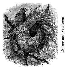 Grosbeak migratory of Madagascar and its nest, vintage ...