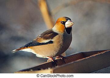 grosbeak perched on a birdfeeder, close up photo