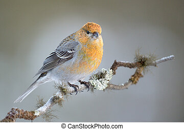 Grosbeak sitting on a branch.
