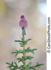 Grosbeak sitting on a pine tree.