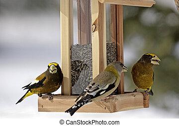 Grosbeaks on bird feeder - Closeup of Evening Grosbeaks ...