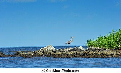 grote blauwe heron, op, de, chesapeake baai