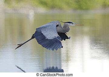 grote blauwe heron, tijdens de vlucht, -, florida
