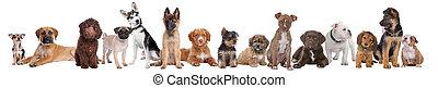grote groep, van, hondjes