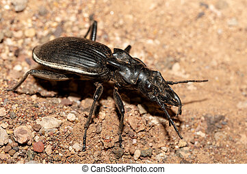 ground beetle Anthia Cintipennis in namibia - big ground ...