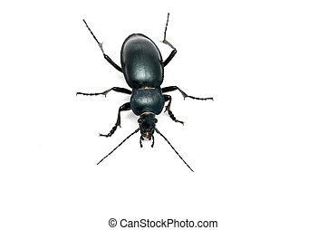 ground beetle (carabus glabratus) isolated on white ground