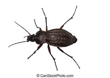 Ground beetle (Carabus granulatus) isolated on white ...