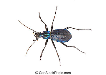 Ground beetle (Carabus intricatus) on a white background - ...