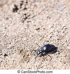 Ground beetle on sund, macro photo - The first spring Ground...