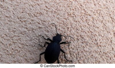 ground beetle,