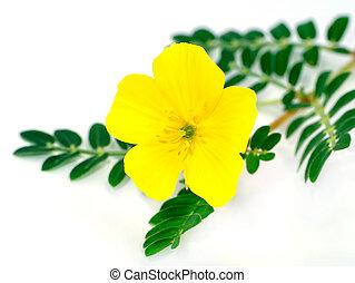 Ground Bur-nut - The yellow flower of devil's thorn...