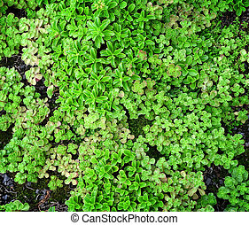 Ground Cover Succulents - An overview of green, succulent...