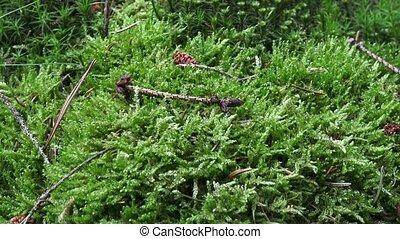 ground., -, détail, haut, moos, forêt verte, mousse, fin