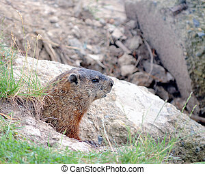 Ground Hog - Ground hog peeking out of his burrow in the ...
