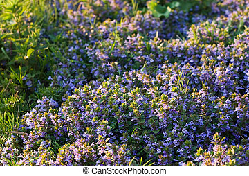 Ground-ivy blooming in april evening light