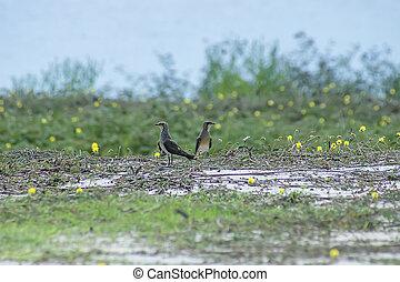 ground., oriental, pratincole, pássaro