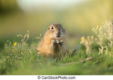 Ground squirrel in the grass in the wild at sunset