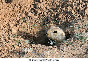 Ground Squirrel in the Hole