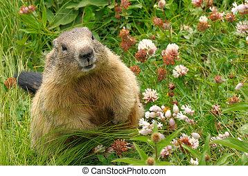 groundhog, hans, naturlig, habitat