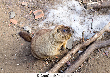 Groundhog looks you curiously. Furry rodent crawled out burrow after hibernation