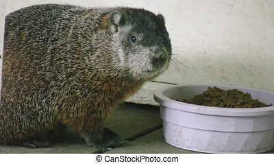 Groundhog. - A domesticated groundhog feeds from a bowl.