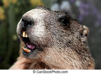 Groundhog with yellow teeth while whistling - Groundhog with...