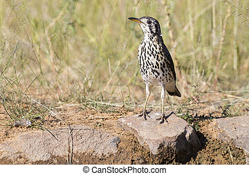 Groundscraper Thrush drinks water from a waterhole in Kalahari desert