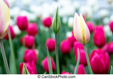 Group and pink and yellow tulips in garden