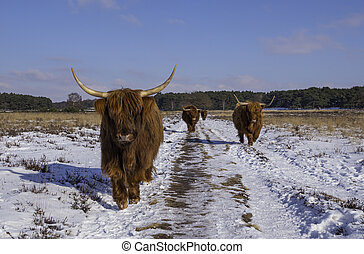 group big mammals galloways walking facing the camera