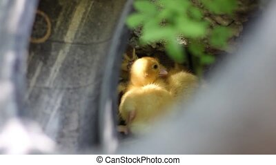 ducklings hiding behind the wheel