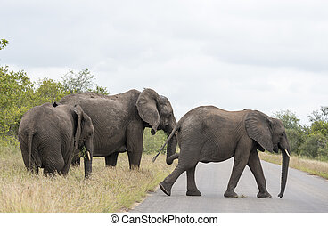 group elephant in kruger park - three elephants crossing the...