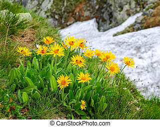 Group flowers of the Arnica montana in the Tatra Mountains