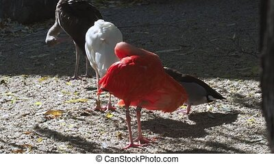 Group ibis standing, tropical birds. Waterfowl