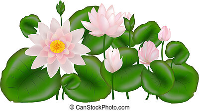 Group Lotuses with leaves, Isolated on white