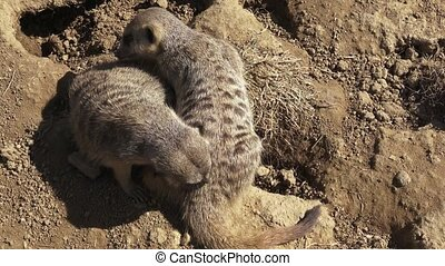 Group meercats (Suricata suricatta) fighting. Meerkats...