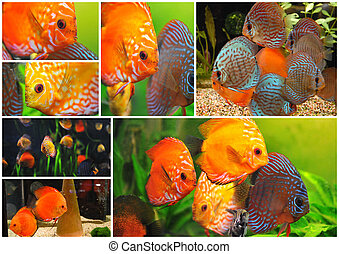 discus - group of a colorfull tropical Symphysodon discus...