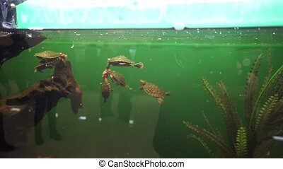 Group of a small pond sliders fighting for food and swims in aquarium.