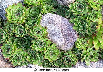 Group of an evergreen groundcover plant Sempervivum known as Houseleek in rockery, top view