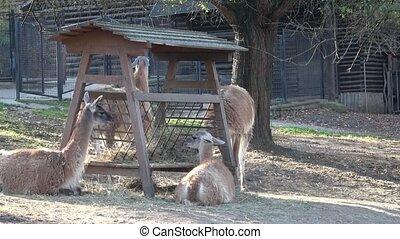 Group of animals Guanaco llama (Lama guanicoe)