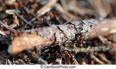 group of ants, working at their anthill.
