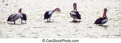 Group of Australian Pelicans