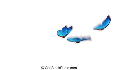 Group of Beautiful Blue Colored Butterflies Morpho Menelaus Flying on White and Green Backgrounds Close-up. Loop-able 3d Animation with Green Screen Alpha Channel. 4k Ultra HD 3840x2160