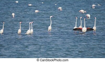 Group of beautiful flamingo birds with reflections, walking...